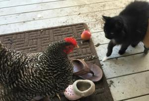 Catandchicken