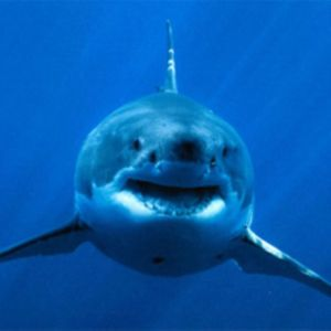 0ac7ebbb7abf94175f26382e9f96dcae--shark-pics-the-muscle